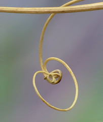 Cherry Vine (Aylesbury_Mark) Tags: canon cherry heart vine powershot tendril dried heartshaped a650 peavine a650is cherryshaped