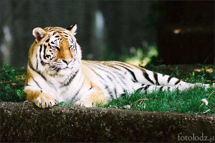 Tygrys w łódzkim ZOO