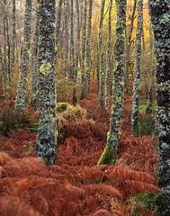 Autumn Birch wood, Inverawe (Richard Childs) Tags: autumn fall woodland scotland argyll large scottish format provia 5x4 landscapesshotinportraitformat