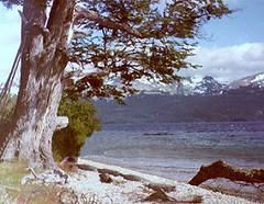 LENGA (Nothofagus pumilio), Lago Vintter - Lago Palena ~ Original = (1682 x 1304) (turdusprosopis) Tags: lenga nothofaguspumilio lagovintter lagopalena chubut lagogeneralpaz lagogeneralvintter provinciadepalena lagosdechile rboleschilenos rbolesnativosdechile rbolesdechile rbolesnativoschilenos rbolesautctonoschilenos rbolesautctonosdechile florachilena floraautctonachilena floranativachilena floradechile floraautctonadechile floranativadechile plantaschilenas plantasautctonaschilenas plantasnativaschilenas plantasdechile plantasautctonasdechile plantasnativasdechile plantasautctonasdeargentina plantasautctonasdelaargentina rbolesnativosdelaargentina rbolesnativosargentinos rbolesnativosdeargentina rbolesargentinos rbolesautctonosargentinos rbolesautctonosdeargentina rbolesautctonosdelaargentina rbolesdelaargentina rbolesdeargentina plantasnativasargentinas plantasnativasdeargentina floraautctonadelaargentina floraargentina floraautctonaargentina floraautctonadeargentina