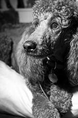 [フリー画像] [動物写真] [哺乳類] [イヌ科] [犬/イヌ] [スタンダード・プードル] [モノクロ写真]     [フリー素材]