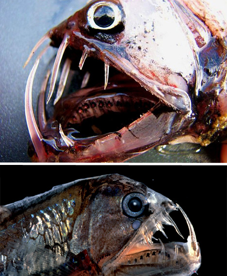 01_viperfish-bizarre-animal