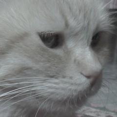 ciccio (archifra -francesco de vincenzi-) Tags: italy cat chat gato miao gatto ciccio molise isernia archifraisernia francescodevincenzi