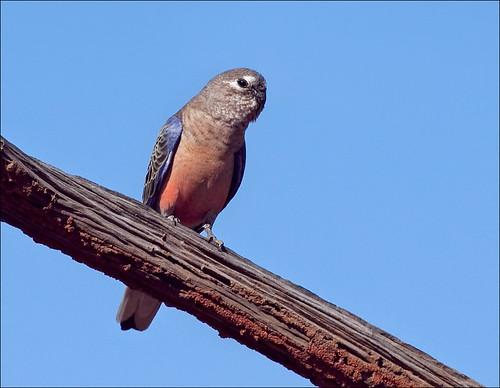 Bourke's Parrot by aaardvaark.