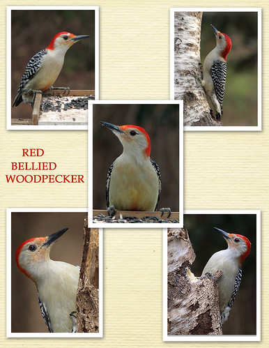 RED BELLY COLLAGE