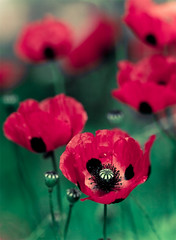30 Days of Gratitude- Day 11 (aussiegall) Tags: november flowers poppies 11th lestweforget inmygarden remembrence flanderspoppies 30daysofgratitude iboughtapunnetofpoopiesacoupleofmonthsagoandnowtheynearlytakeupthewholegardenbed