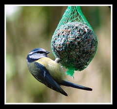Dinner for blue tit....... (Levels Nature) Tags: uk england food bird nature wildlife fat somerset eat bluetit fatbag swellwood carlsbirdclub