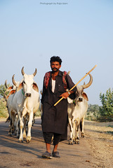 Sheeda qasai is back (Raja Islam) Tags: road pakistan urban man movie cow back desert eid bull stick herd sind sindh bakra baqra