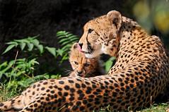 [フリー画像] [動物写真] [哺乳類] [ネコ科] [チーター] [親子/家族]      [フリー素材]