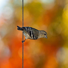Bird on a wire - the Autumn edition (Images by John 'K') Tags: bird birds garden bokeh feeder birdonawire johnk d5000 anawesomeshot johnkrzesinski randomok