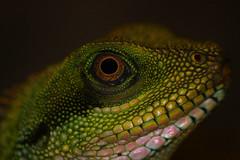 Reptile (Ian Lambert) Tags: macro zoo reptile lancashire blackpool lancs fylde potofgold vosplusbellesphotos beautifulmonsters