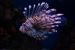 DSC_0379 (marinast) Tags: fish crazy exotic lionfish