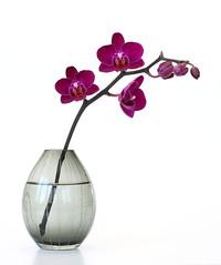 orchid0032 (OldaSimek) Tags: pink red white orchid color purple orchids bright magenta violet phalaenopsis whitebackground vase buds bud