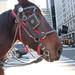 Plaza horse.
