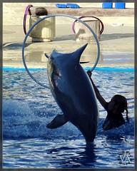 Dolphin jumping through a hoop (sunset backlight) / Delfin saltando a traves de un aro (contraluz al atardecer) (Trensamiro) Tags: madrid show light sunset españa luz public backlight hoop contraluz atardecer lumix zoo aquarium jump spain long afternoon dolphin availablelight performance noflash panasonic 300mm telephoto va handheld late salto hop delfin largo far dolphinarium animalplanet lejos trainer tarde caretaker publico aro telefoto 400mm espectaculo delfinario saltar lejano sinflash luzdisponible teleobjetivo cuidadora maximumzoom tz7 entrenadora apulso zs3 longtelephoto trensamiro telelargo zoommaximo