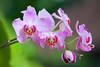 Orchids (Peter Nijenhuis) Tags: bali indonesia orchids 500d ef70300mmf456isusm tamanburungbalibirdpark peternijenhuis
