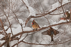 Company Coming (Pete Zarria) Tags: winter snow birds iowa onlythebestofnature