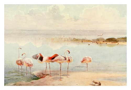 014-Flamencos-Egyptian birds for the most part seen in the Nile Valley (1909)- Charles Whymper