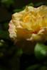 Peace (BeautifulRust) Tags: pink sun rose golden peace tea large peach fragrant blooms hybrid multicolor