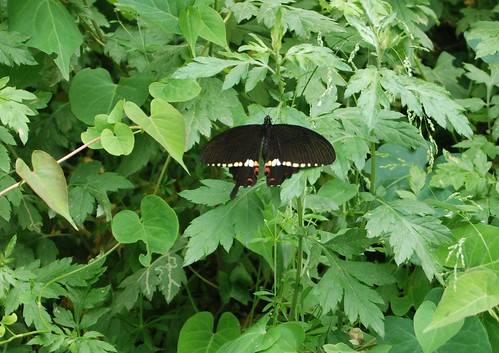 Papilio polytes by joe with a camera