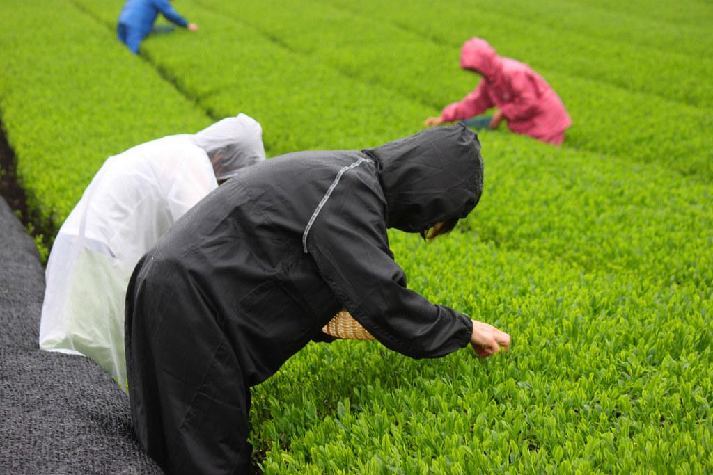 Inokura tea garden (2)