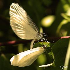 Rendez-vous (~Cess~) Tags: white love butterfly butterflies lovers papillon amour blanc feuilles rendezvous amoureux papillons artistoftheyearlevel3