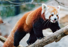 RedPandaWalking (hillels) Tags: nationalzoo fonz washington dc zoo animal wild nature