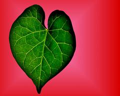 Macro Mondays - heart (EXPLORED) (PaulE1959) Tags: macromondays heartshape morningglory leave heartshapeleave nature green red veins backlit nikon d5200 macro macromondaysheart heart