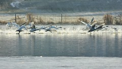 Running Take-Off 026 (2) (srypstra) Tags: trumpeterswans mist earlymorning backlit inflight farm