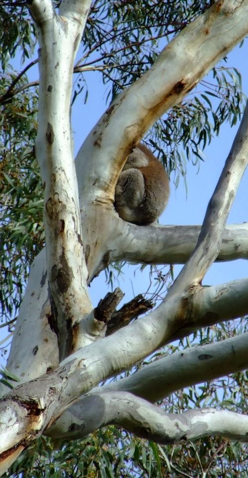hiding koala 01