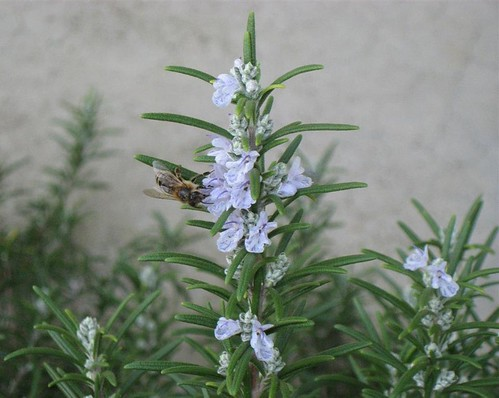Rosemary with visiting bee