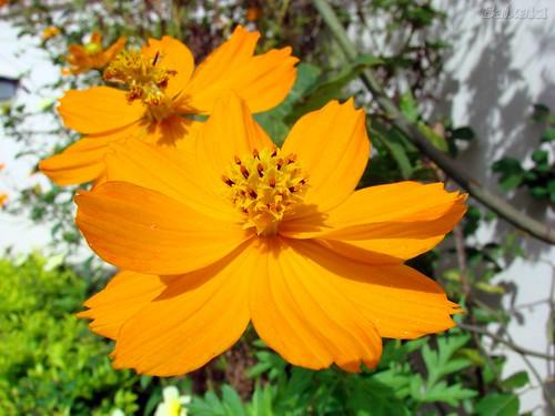 Coreopsis (Um tipo de Margarida