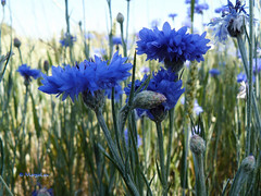 In blue (MargoLuc) Tags: summer macro explore frontpage cornflowers bluefield inblue fiordalisi parcodellecave
