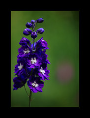 Purple delight (AnyMotion) Tags: flowers blue plants nature floral colors garden colours purple blossom frankfurt natur pflanzen blumen lila blau blte garten delphinium 2009 larkspur farben rittersporn anymotion infinestyle canoneos5dmarkii awesomeblossoms 5d2