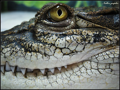 Crocodile's Smile! (Nullerz) Tags: wild macro animal yellow canon mouth thailand zoo teeth sharp thai frame crocodile phuket pattaya eyegreen aplusphoto 100commentgroup