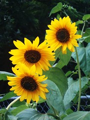 ~Sunflowerz~ (SurFeRGiRL30) Tags: flowers orange plants green nature leaves yellow three petals open natural sunflowers bunch bloom blooms middle blooming