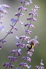 Parc Floral - Vincennes-59 (MissDogo) Tags: paris macro fleur closeup animaux parc insectes vincennes parcfloral bourdon proxyphoto hym hyménoptères hymnoptres