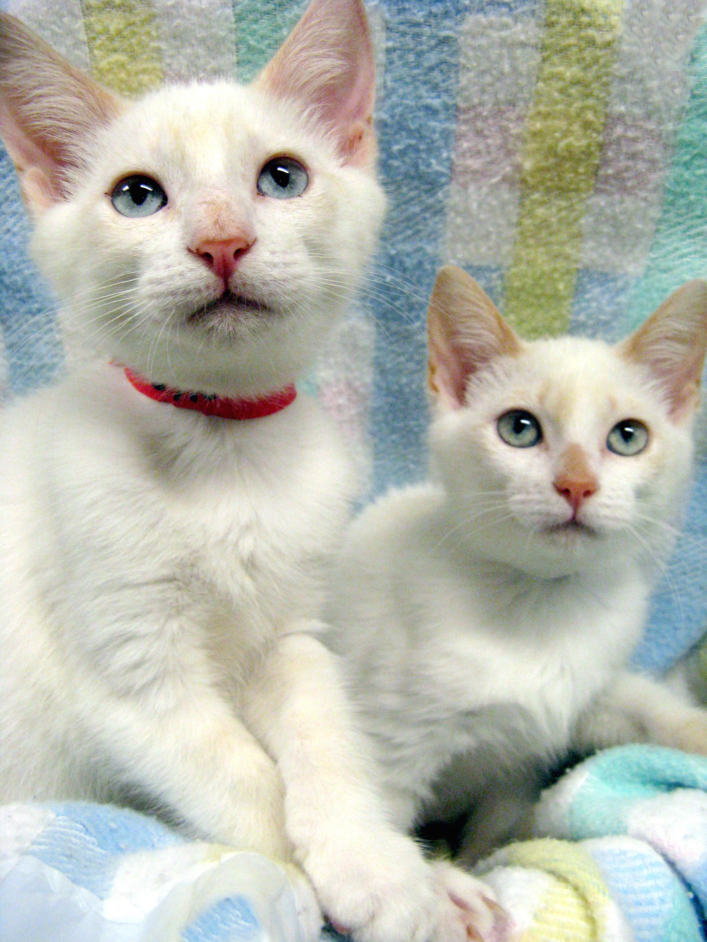 Free Cat Kitten Craigslist - Bitterroot Public Library