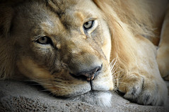 Lion resting (by Eve,Waiting4Spring)