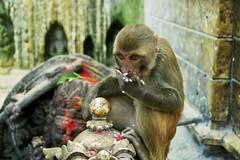 Monkey, Swayambhunath, Kathmandu (1) (Paul D Price) Tags: nepal money nikon swayambhunath f55