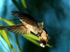 Hummingbird Folded Wings (joecrowaz) Tags: arizona nature colors birds bokeh hummingbirds supershot conceptualimage avianexcellence vosplusbellesphotos adrinnesmagicalmoments
