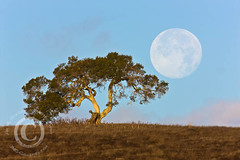 Perigee Moon & California Oak (jimgoldstein) Tags: california moon tree nature sunrise landscape monterey oak fullmoon astrophotography lunar valleyoak perigee quercuslobata 840mm jmggalleries jimmgoldstein canon1dsmarkiii supermoon hillhillside