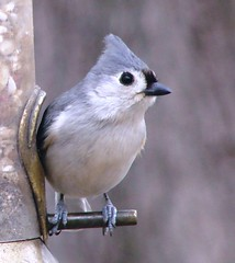 DSC00636 (Orbspiders) Tags: nature birds wildlife titmouse
