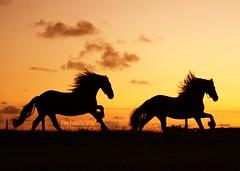 Frisian Horses @ sunset (The Family Dog) Tags: sunset horses horse silhouette caballo cheval caballos cavalos pferde cavalo equestrian equine frisian equines expressyourself cheveaux tropillas abigfave tropilla platinumheartaward spiritofphotography 100commentgroup artofimages saariysqualitypictures bestcapturesaoi tropsilla ☆thepowerofnow☆ elitegalleryaoi