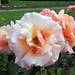 Roses of Longwood