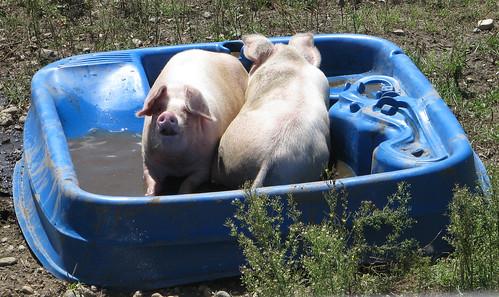 Piggies in the pool