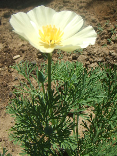 our first poppy