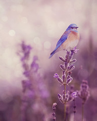 Little bluebird (dog ma) Tags: nature nikon purple lavender bluebird nikkor dogma 105mm d700 susangary isabellelafrance magicunicornverybest magicunicornmasterpiece gloriousnatureartcollection soulfultextures soulfulactions