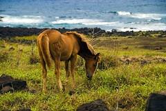 Horse (ganagafoto) Tags: chile horses southamerica animals travels easterisland viaggi cile cavalli animali sudamerica rapanui isoladipasqua ganagafoto