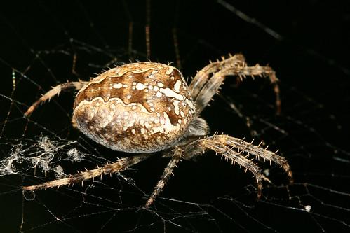 フリー画像| 節足動物| 蜘蛛/クモ| ニワオニグモ|        フリー素材|